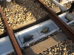 Thế giới - Đường dành riêng cho rùa ở Nhật Bản