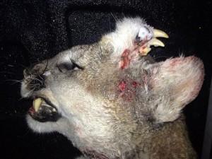 Phi thường - kỳ quặc - Kỳ lạ sư tử núi có răng mọc trên... trán