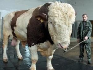 Phi thường - kỳ quặc - Chú bò 'khổng lồ' nặng gần 2 tấn ở Trung Quốc