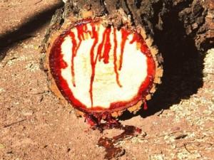 Phi thường - kỳ quặc - Kinh hãi: Loài cây chảy nhựa như máu ở châu Phi