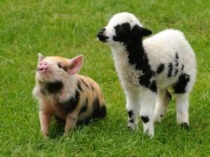 Thế giới - Người sẽ được ghép nội tạng nuôi trong lợn