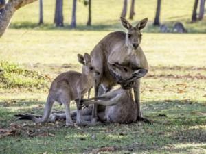 Thế giới - Rớt nước mắt cảnh kangaroo mẹ cố ôm con trước khi chết