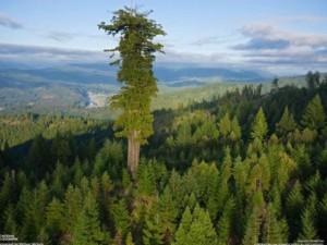 Phi thường - kỳ quặc - Phát hiện thú vị về cây xanh cao nhất thế giới