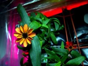 Thế giới - Bông hoa đầu tiên nở ngoài trái đất