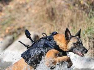 Thế giới - Chó nghiệp vụ của đặc nhiệm SEAL được luyện thế nào?