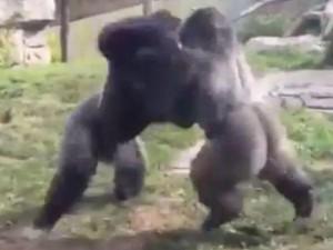 """Thế giới - Video: Hai chú khỉ đột đấm nhau như quyền anh """"nhà nghề"""""""