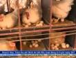 Bản tin tài chính kinh doanh 20/1: Thiếu định hướng, hộ chăn nuôi gà Ai Cập lao đao