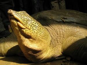 """Thế giới - """"Bà con"""" của rùa Hồ Gươm ở nước ngoài sống thế nào?"""
