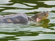 Tin tức trong ngày - Đề xuất kiểm kê rùa ở Hồ Gươm