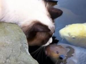 Thế giới - TQ: Mèo ngày ngày hôn cá suốt 3 năm liên tục