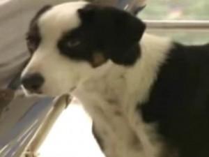 Bạn trẻ - Cuộc sống - Chú chó nhất quyết không rời bệnh viện nơi chủ qua đời