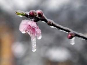 """Du lịch - Đào rừng Sa Pa """"ngậm tuyết"""", khoe sắc trong cái lạnh -6 độ C"""