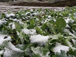 """Lào Cai: Mưa tuyết  """" vùi lấp """"  hàng chục tỷ đồng"""