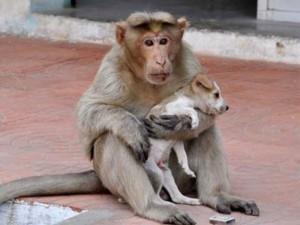 Bạn trẻ - Cuộc sống - Cảm động chú khỉ cưu mang chó như con