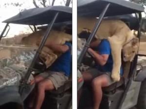 Thế giới - Sư tử trèo lên đùi tài xế ngồi
