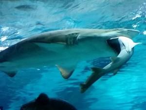Thế giới - Video: Cá mập ăn thịt đồng loại vì xung đột lãnh địa