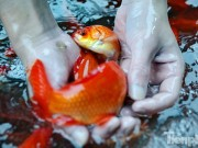 Tin tức trong ngày - Tấp nập chợ cá ông Công, ông Táo lớn nhất Hà Nội