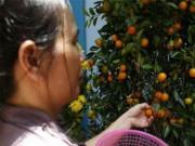 Sức khỏe đời sống - Vì sao quả quất ngày Tết có thể trở thành độc dược?
