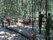 Bản tin 113 - Lâm tặc bỏ lại lô gỗ lậu cực quý hiếm ở Bình Phước