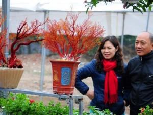 Săn san hô đỏ cực hiếm chơi Tết Bính Thân