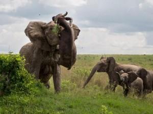 Thế giới - Kinh hoàng voi húc thủng ngực trâu rừng nửa tấn