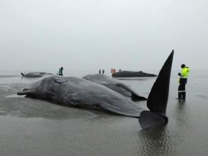 Thế giới - 8 cá voi hàng chục tấn đồng loạt mắc cạn ở Đức