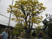 Tin tức trong ngày - Cây mai cổ rao giá 2 tỉ đồng ở Đà Nẵng