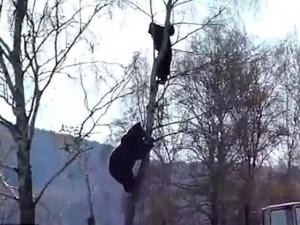 Thế giới - Video: Gấu khổng lồ leo cây truy đuổi người