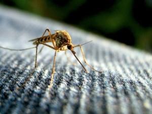 Thế giới - Tại sao con người không xóa sổ loài muỗi?