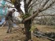Một cành đào Lào nhập vào Việt Nam giá hơn 30 triệu đồng
