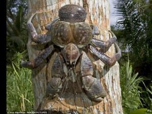 Thế giới - Úc: Cua khổng lồ nặng tới 5kg