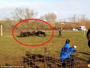 Thế giới - Video: Bò tót húc đổ hàng rào, đâm gãy chân 2 bố con