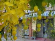 Du lịch - Xôn xao mùa hoa bò cạp giữa Sài thành