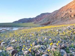 Thế giới - Mỹ: Thung lũng Chết bừng nở bạt ngàn hoa