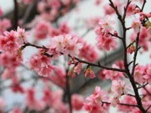 Tin tức Việt Nam - Trồng hoa anh đào ở Hà Nội có thực sự phù hợp?