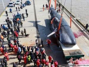 Thế giới - 2 cá voi to như tàu ngầm dạt vào bờ biển Trung Quốc
