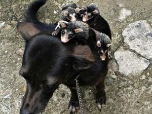 Phi thường - kỳ quặc - Kỳ lạ: 'Cô chó' nuôi thú có túi như con của mình