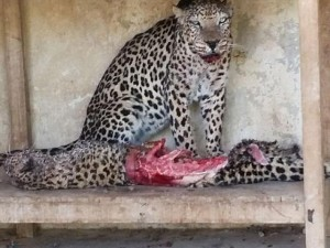300 con thú bị bỏ đói, ăn thịt lẫn nhau ở Yemen