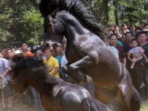 Video: Lễ hội chọi ngựa bạo lực ở TQ