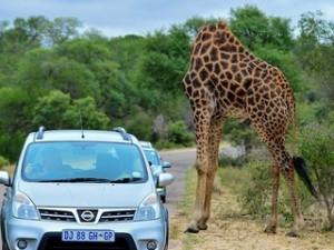 """Thế giới - Kì lạ """"hươu cao cổ không đầu"""" ở Nam Phi"""