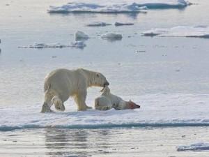 Thế giới - Kinh hãi cảnh gấu Bắc cực ăn thịt con