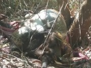 Tin tức trong ngày - Đồng Nai: Bò tót nặng 200kg nghi bị bắn chết lấy thịt