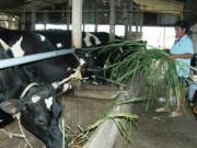 """Thị trường - Tiêu dùng - Đàn bò sữa """"ngơ ngác"""" trước hội nhập"""