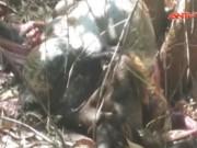 Video An ninh - Đồng Nai Phát hiện xác bò tót nghi bị bắn chết lấy thịt