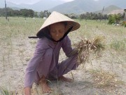 Thị trường - Tiêu dùng - Người trồng tỏi ở Khánh Hòa khốn đốn