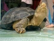 """Tin tức trong ngày - Chủ nuôi đi cùng công an đến """"xin"""" lại con rùa 14 kg"""