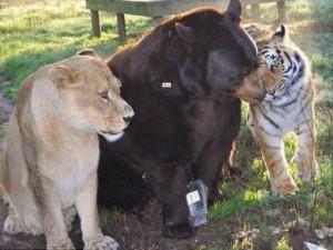 Thế giới - Sư tử, hổ và gấu quấn quýt bên nhau 15 năm không rời