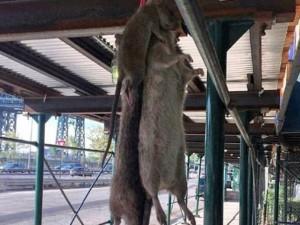Thế giới - Bắt được chuột khổng lồ chưa từng thấy ở Mỹ