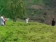 Du lịch Việt Nam - Thảnh thơi dạo bước giữa những đồi chè Lâm Đồng