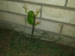 Thế giới - Kì quái ếch xanh ngấu nghiến ăn thịt rắn